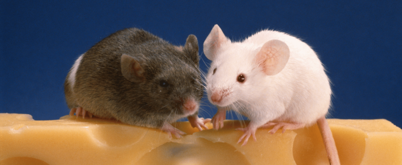 Combination Gene Therapy Treats Age-Related Diseases in Mice